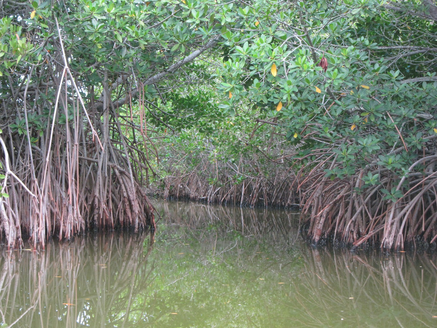 Shorelines » Blog Archive » Mangrove Tracking I: A Forest on the Move