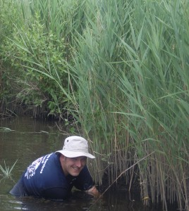Scientist in water next to Phragmites