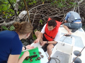 Image: Kristina Hill-Spanik, Mark Torchin and Greg Ruiz collect oysters off mangrove roots. (Credit: Katrina Lohan)