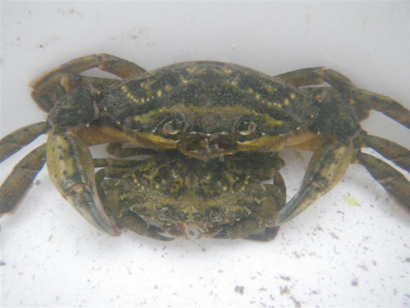 The European green crab has been on the east coast of the U.S. since 1817. (SERC)