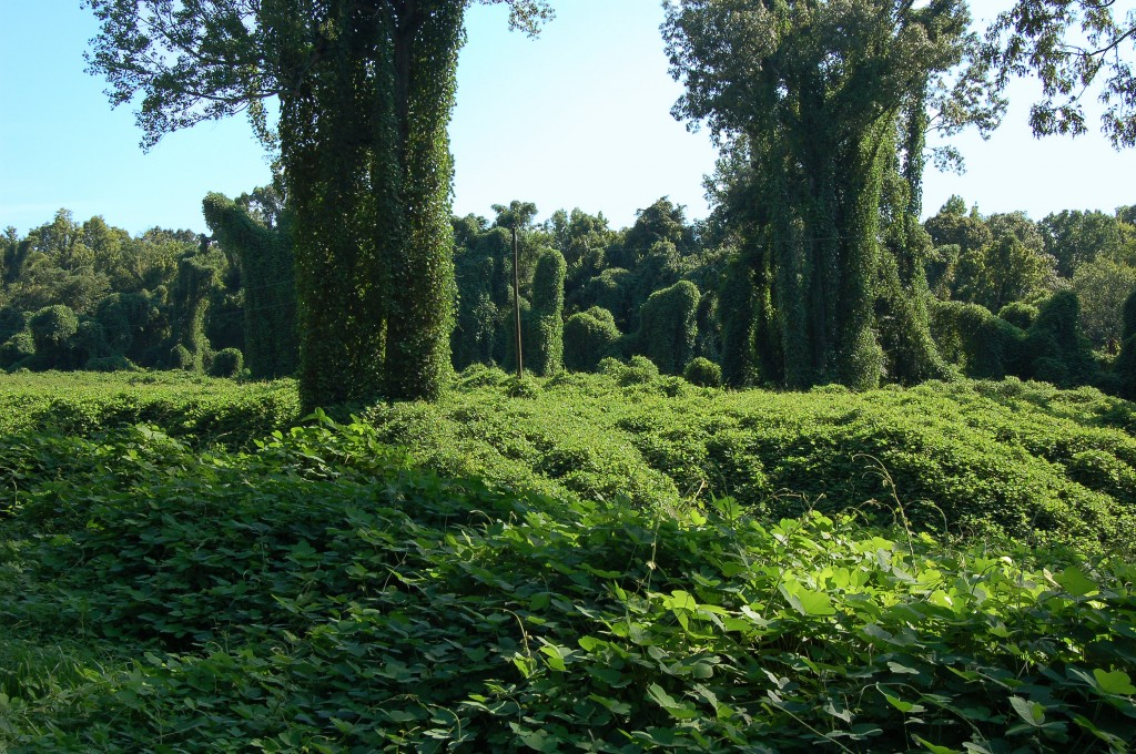 "Kudzu, a vine from eastern Asia, now more commonly known as ""the vine that ate the South."" (Galen Parks Smith)"