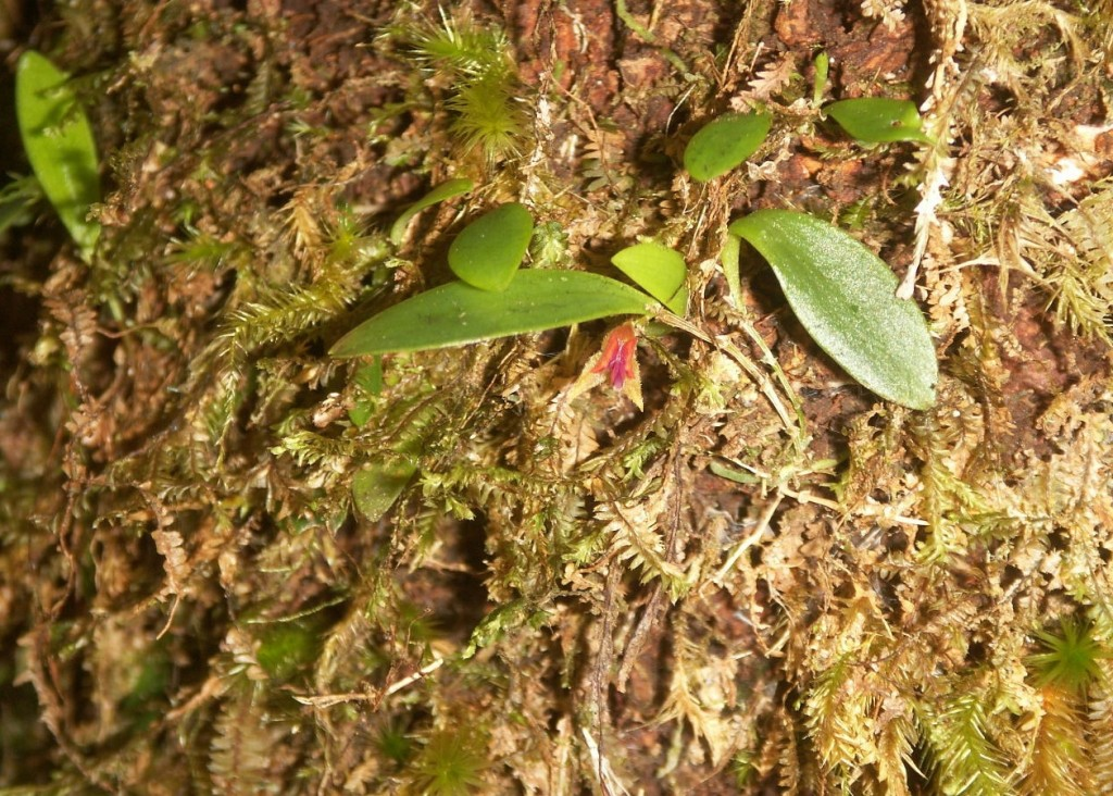 Luquillo mountain babyboot orchid (Benjamin J. Crain)