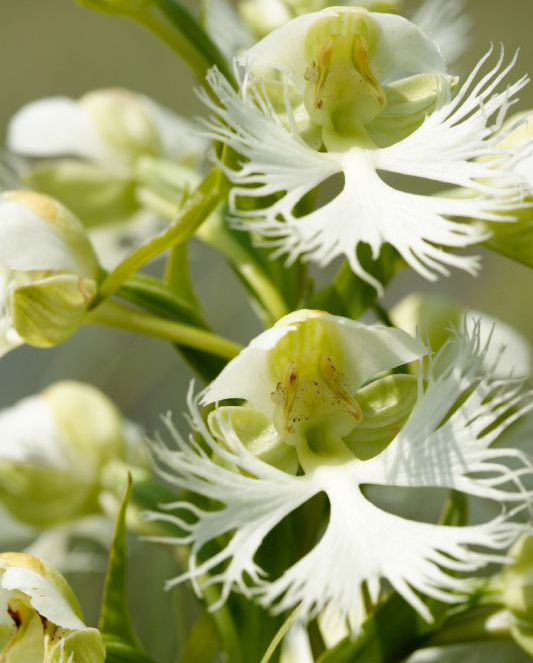 Western prairie fringed orchid (NC Orchid)