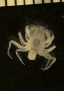 Post-larval crabs, known as megalopae, actively select and settle into nursery habits such as mangroves and marshes. The black marks at the top are millimeter marks on a ruler. (Cora Johnston)
