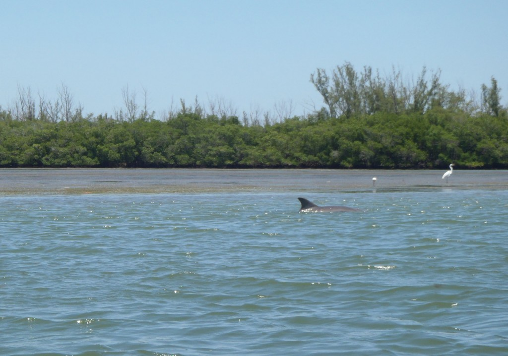 A dolphin surfaces in Indian River Lagoon, Fla. (Kristina Hill)