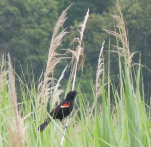 A red winged blackbird makes its home in the SERC marsh.