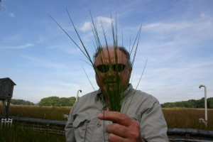Bert Drake holds up a cluster of the marsh grass Spartina patens. C4 plants like Spartina weren't expected to absorb extra CO2, but they surprised scientists in a recent study. (SERC)