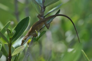 Green anole seen near the Smithsonian Marine Station. Scientists aren't sure whether anoles are helping or hurting mangroves in Florida. (Micah Miles)