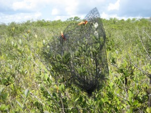 Bird net surrounding a black mangrove. The net lets insects and spiders in, but keeps anoles out--allowing research to see what impact anoles are having on mangroves. (Micah Miles)