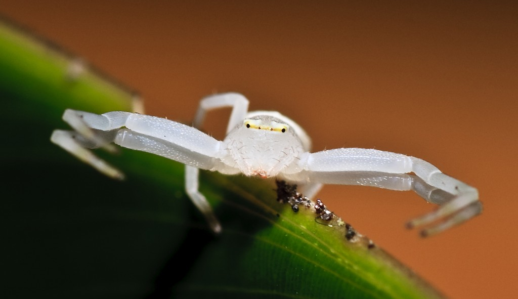 The crab spider spends its entire life in the insect-eating pitcher plant for its food supply. (Greh Fox)