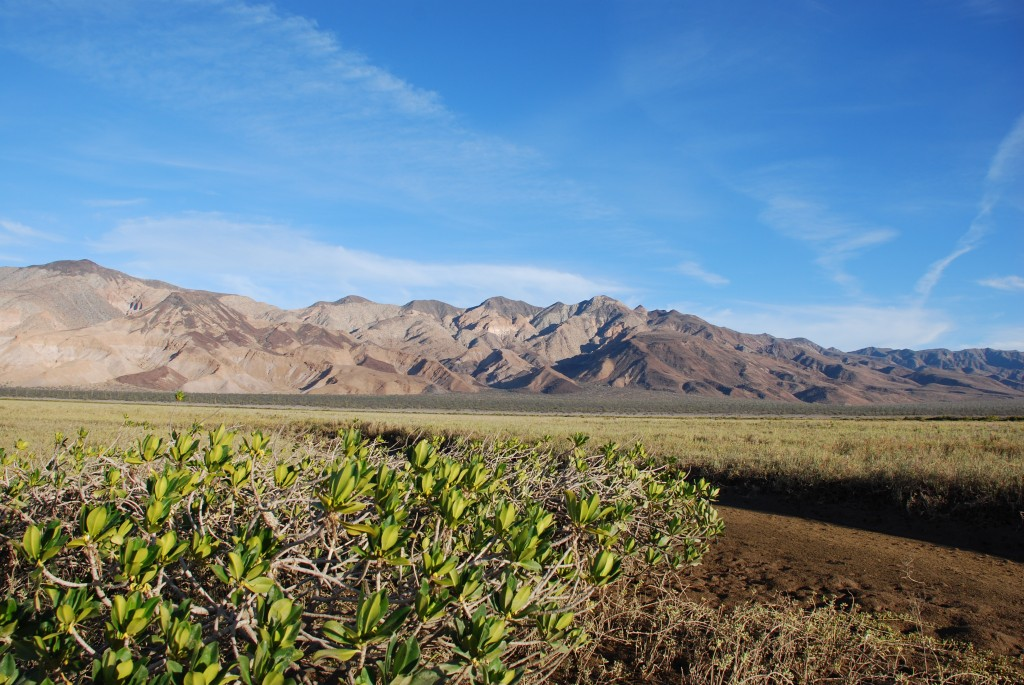 Mangroves in the desert of Baja California, Mexico. ( L. Simpson).