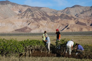 The research crew gets to work on a small stand of mangroves in a salt marsh in Bahia de Los Angeles. (L. Simpson)
