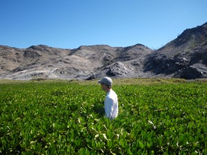 Researcher Mike Lehmann makes his way through dwarf-form mangroves in the Gulf of California. (C. Johnston)