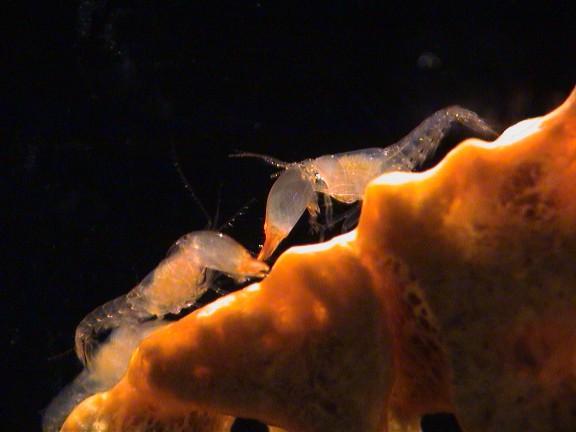 Two male social shrimp (Synalpheus regalis) face off. (Image: Emmett Duffy)