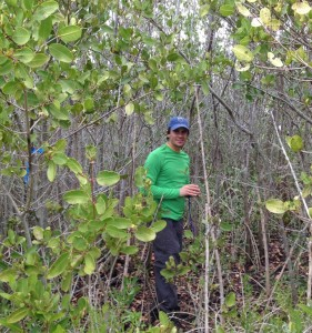Image: SERC ecologist Kyle Cavanaugh explores a field of white mangroves. (SERC)