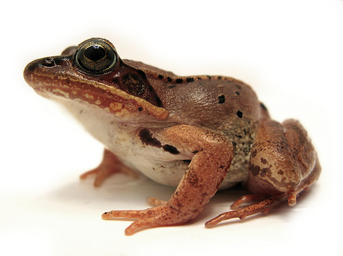 Wood frog (Dave Huth)