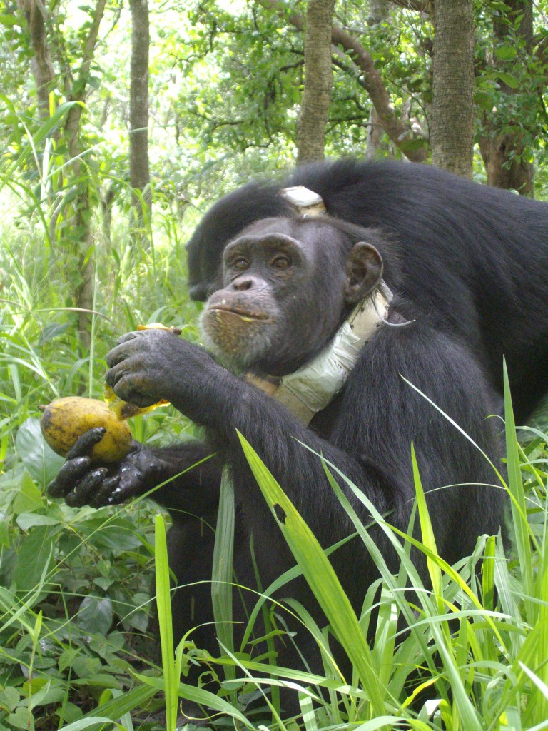 Two chimpanzees released into the wild (Chimpanzee Conservation Centre)