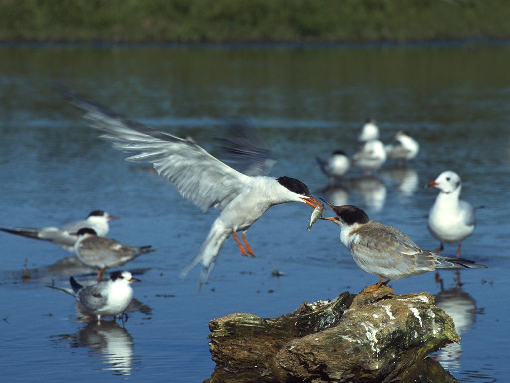 A common tern brings food to his mate (Lukasz Lukasik)