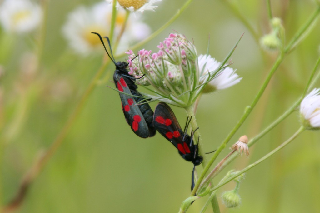 Six-spot burnet moths mating (Rosenzweig)