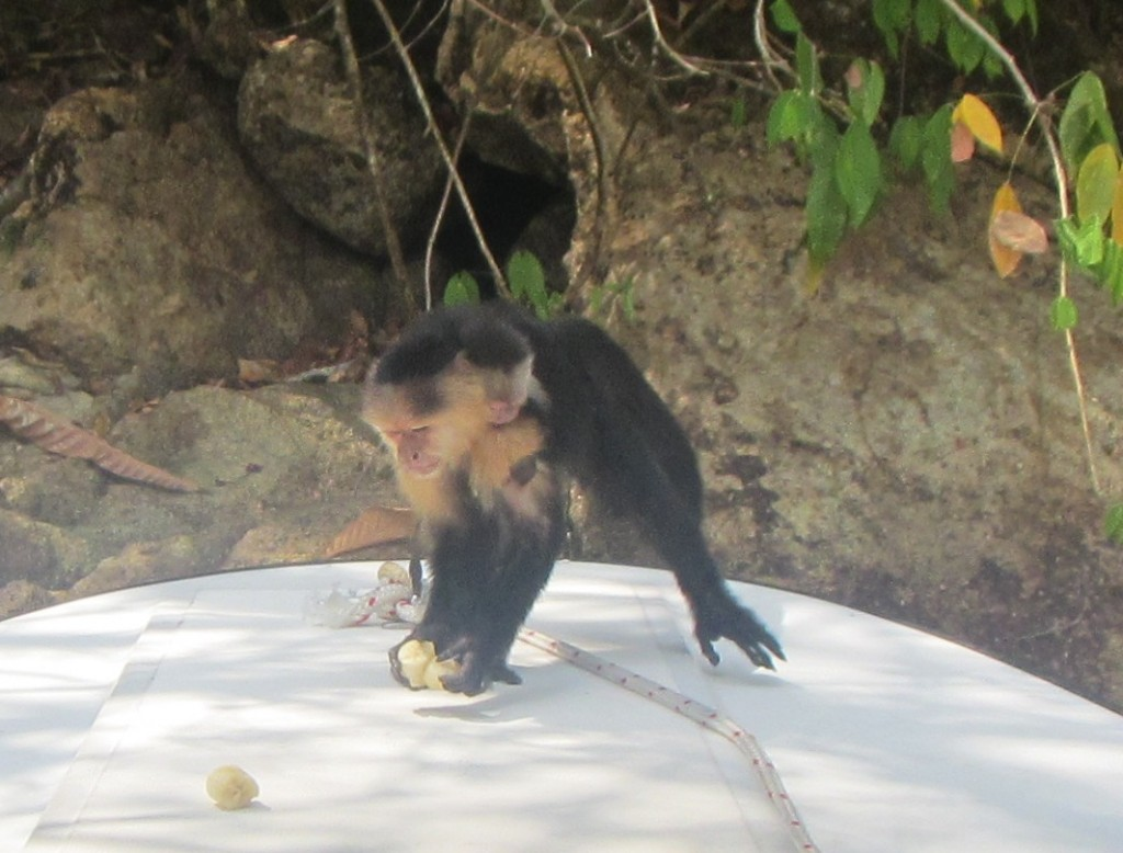 Shamelessly feeding a Capuchin monkey of the Chagres River. (Linda McCann)