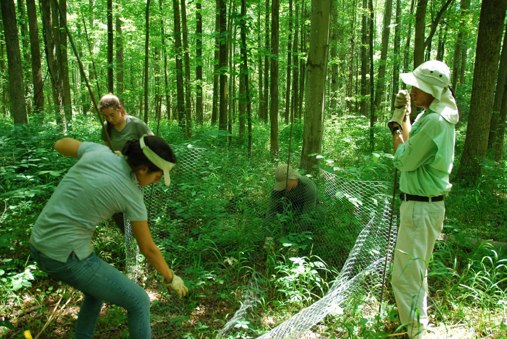 Left to right: Intern Marina LaForgia, technician Jess Shue and interns Kiel Edson and Jeff Miguel set up a deer exclusion cage around a SERC forest plot. (Photo: SERC)