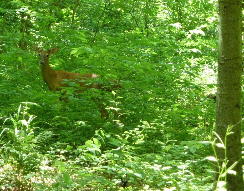 White-tailed deer. (Photo courtesy of John Parker/SERC)