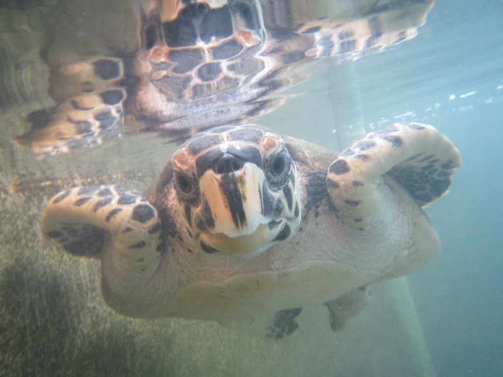 Hawskbill Sea Turtle in Galeta. (Photo: Kristen Larson/SERC)