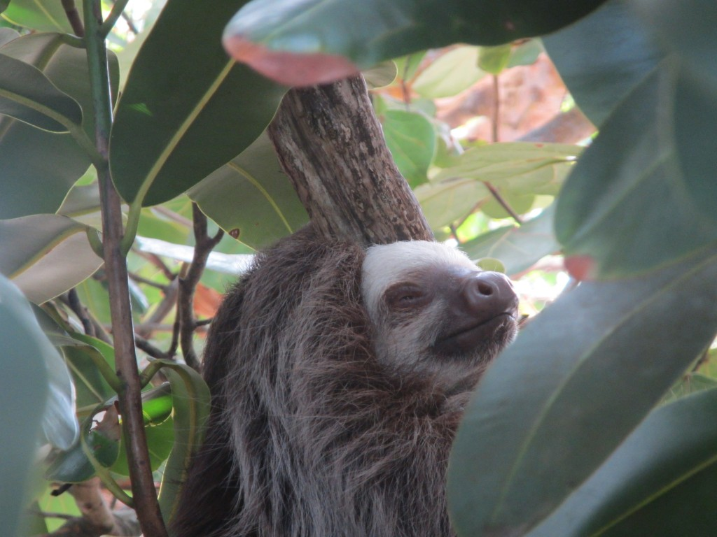 Sloth in Isla Galeta, near the Smithsonian's marine station on the Panama Canal. (Photo: Kristen Larson/SERC)