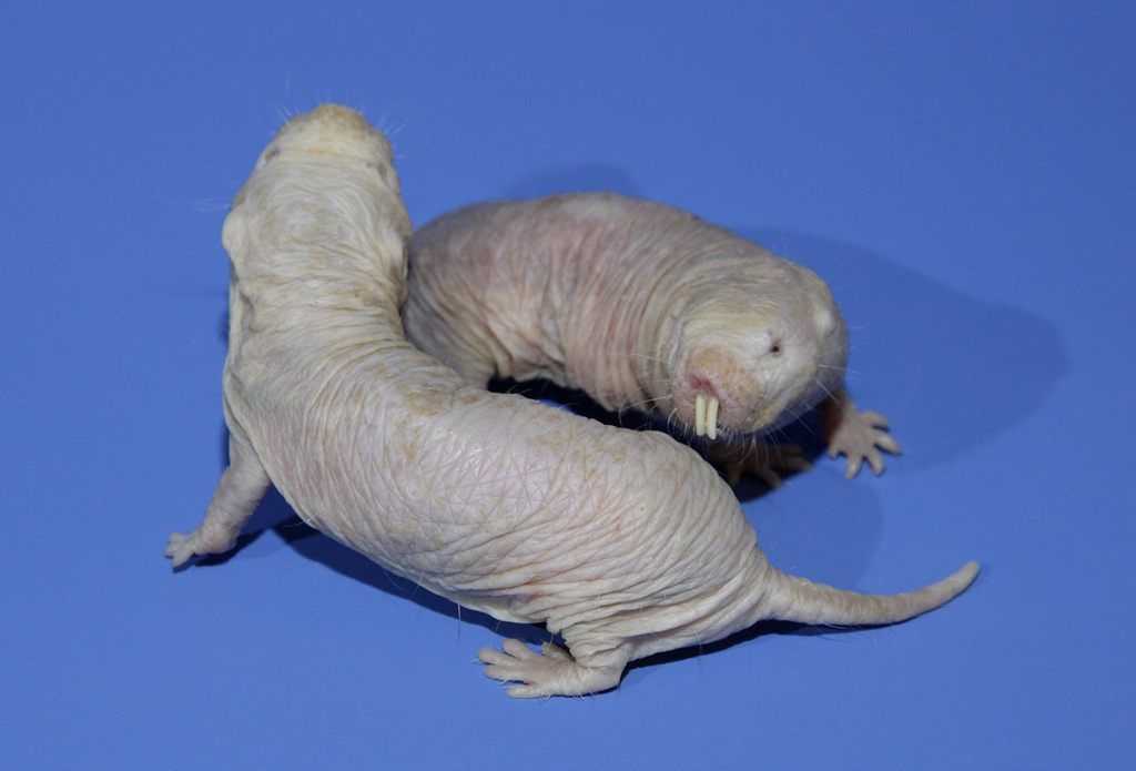 Two naked mole-rats at the  Smithsonian's National Zoological Park. (by Meghan Murphy)