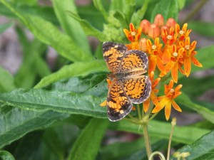 Photo: Pearl crescent butterfly on milkweed, a native flower in eastern and central U.S. (SERC)