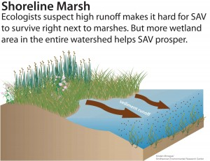 SeagrassInfographic_marsh