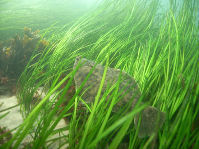 Photo: A flounder in a bed of eelgrass. (NOAA)