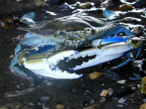 Photo: Male blue crabs can mate with multiple females. But with fewer men to go around, their female partners are left with less sperm to reproduce. (Credit: SERC)