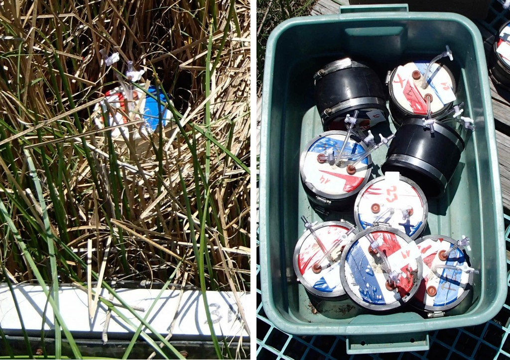 Images: Left: PVC pipe in the soil with air-tight cover to accumulate gas. Right: Covers before being installed in the marsh plots. (Credit: Melissa Pastore)