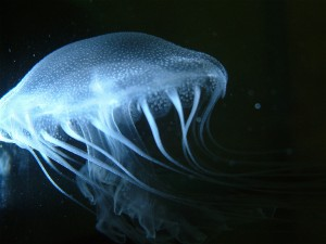 Image: Jellyfish Chrysaora quinquecirrha (Credit: Lori Davias)