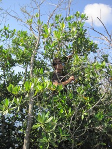 Image: John Parker samples a red mangrove tree in Florida. (Credit: SERC)