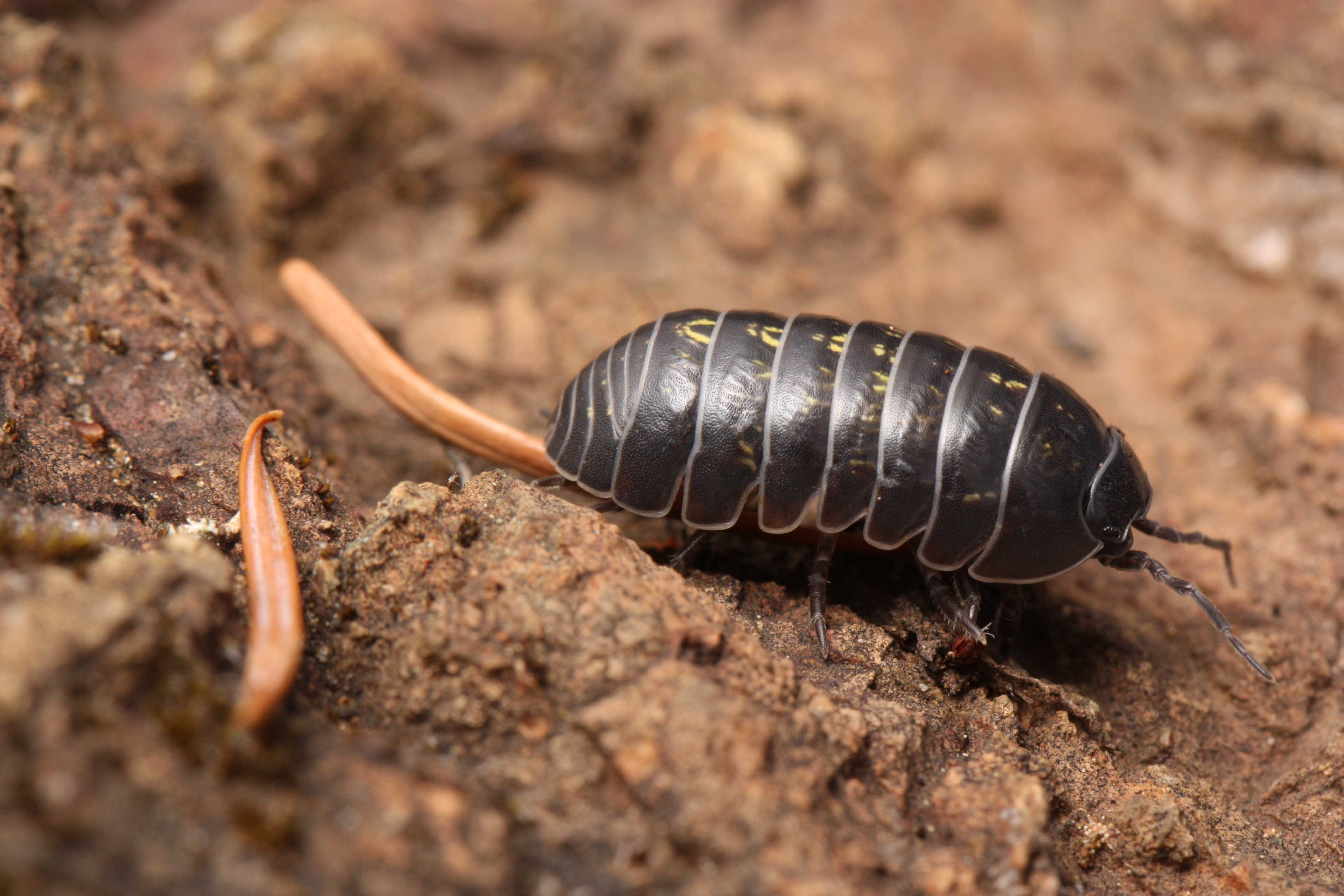 Shorelines » Blog Archive The Scavenger Bug That Fights