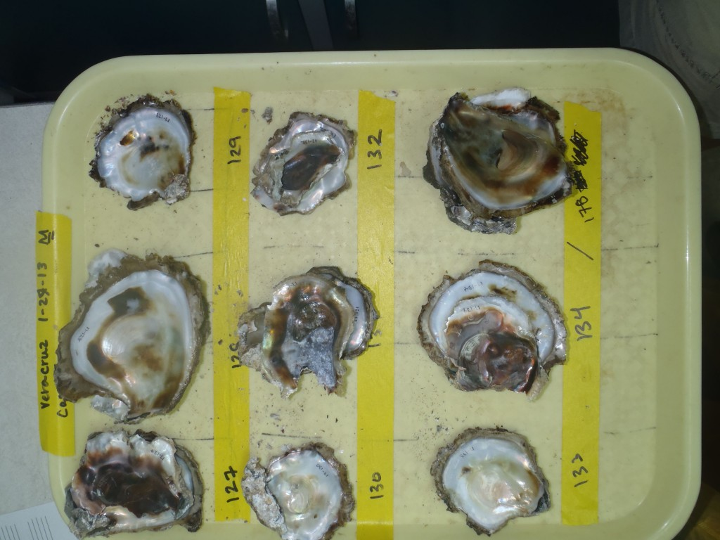 Image: Old school: Scientists use cafeteria trays to keep track of all the different oysters they collect. (Kristina Hill-Spanik)