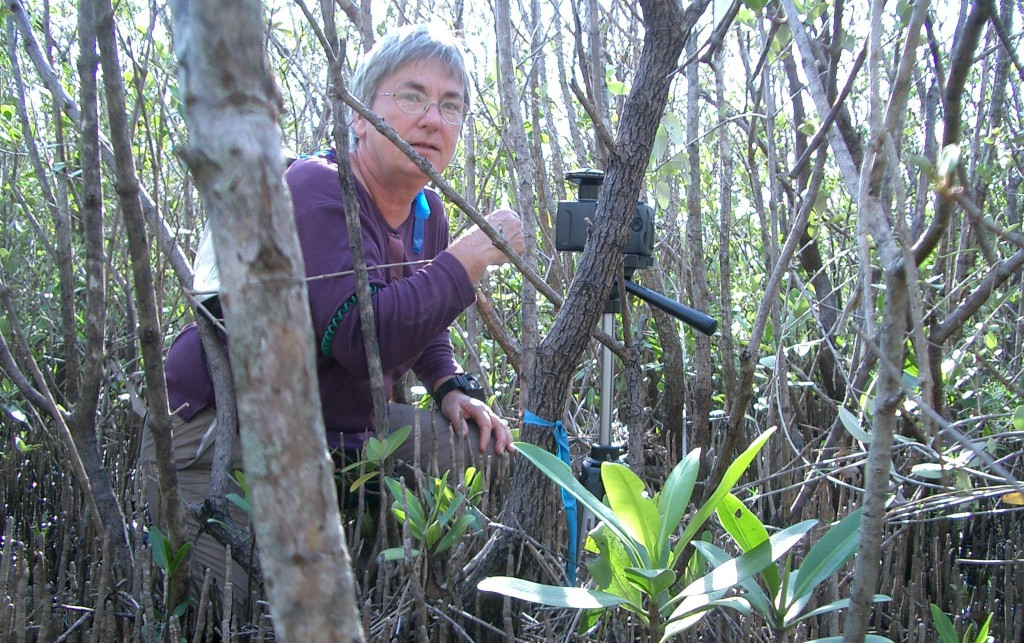 Image: Candy Feller inspects a white mangrove stand. (Credit: Anne Chamberlain)