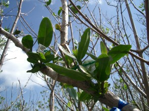 Image: White mangrove starting to regrow. (Credit: Anne Chamberlain)