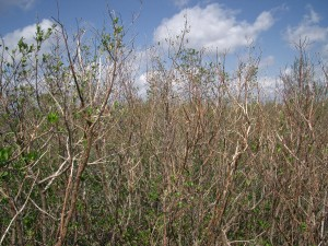 Image: White mangroves stripped of leaves right after the hurricanes. (Credit: Anne Chamberlain)
