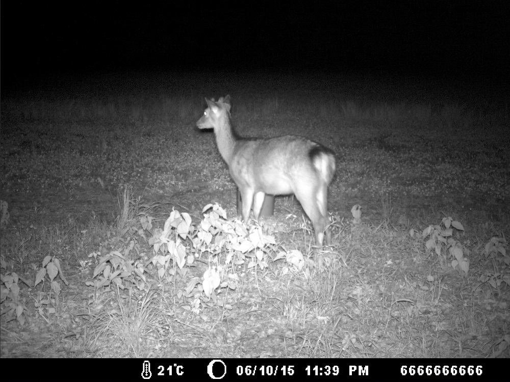 A sika deer at night, caught by the motion-activated camera. (John Devaney and Lisa Koetke)