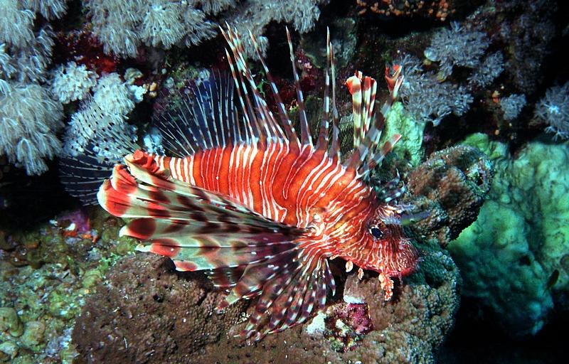 Red Lionfish. (Jacek Madejski)