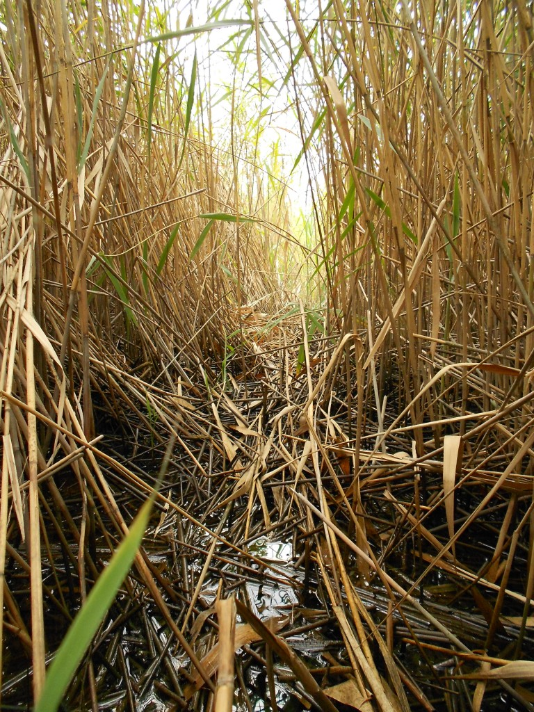 Inside a Phragmites patch . (Matt Sievers)