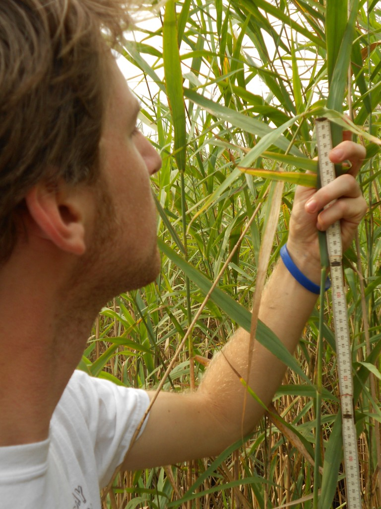 Matt Sievers measures Phragmites. (Matt Sievers)