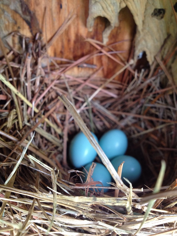 Four bluebird eggs in one of SERC's nest boxes. (Caroline Kanaskie)