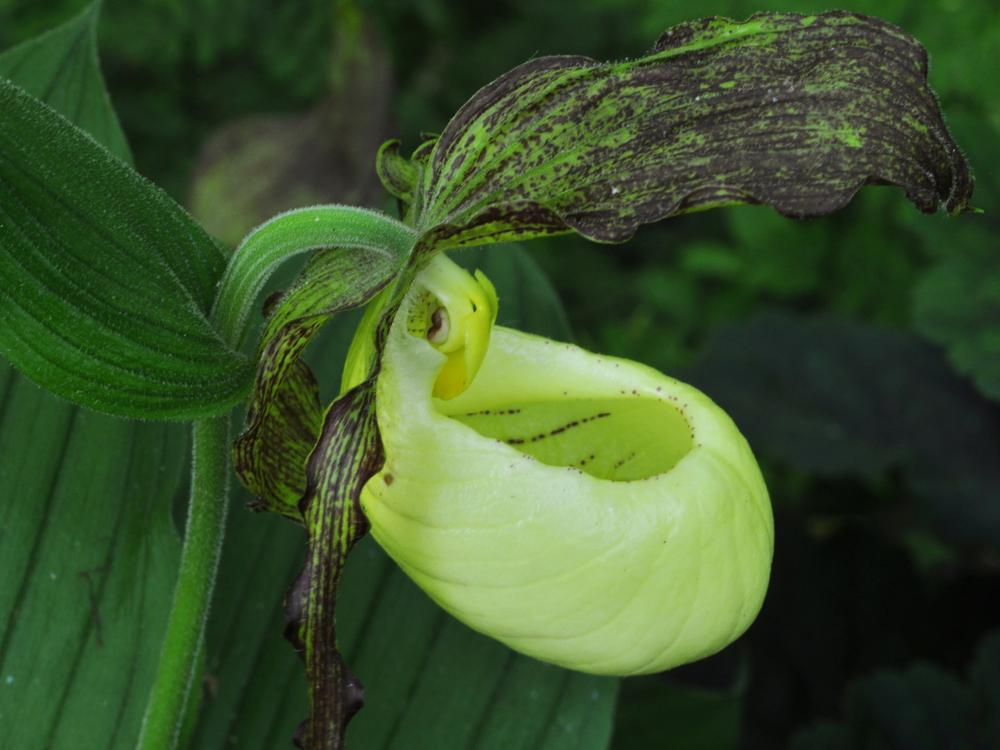 Image: Kentucky Lady's Slipper, Cypripedium kentuckiense (Credit: Gary Van Velsir)
