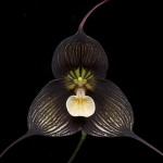 Flower of <em>Dracula vampira</em> (Photo: Eric Hunt, licensed under CC by 3.0)