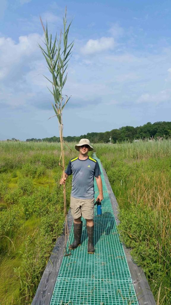 Image: Josh Caplan holds Phragmites. (Credit: Tom Mozdzer)