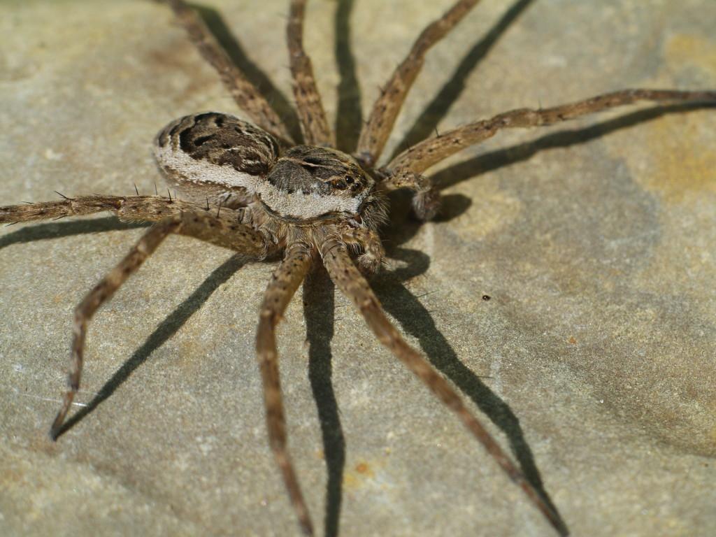 American fishing spider, Dolomedes scriptus. Credit: Er1kssen
